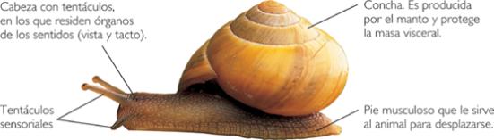 Partes del caracol