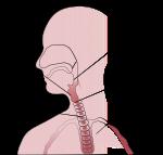 Anatomía de la garganta